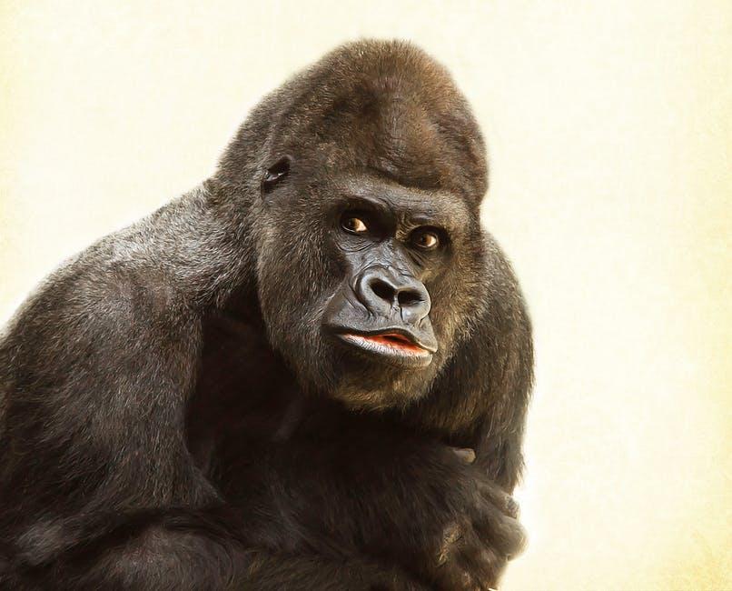 gorilla-silverback-animal-silvery-grey-39571